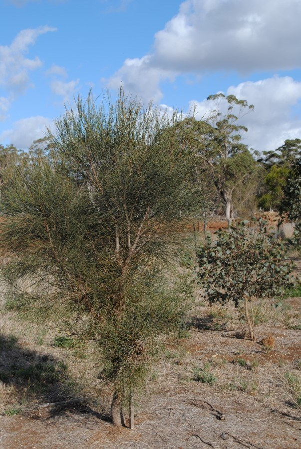 Early 2000s Drooping Sheoak
