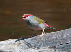 red browed finch x250