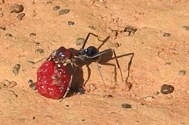 Purple meat ant with red ruby saltbush berry Bush's paddock
