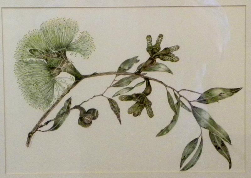 'Eucalyptus macrocornuta' - painting  by Florence Roche