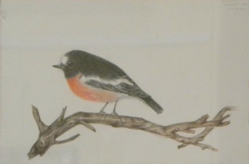 'Scarlet Robin' - coloured drawing by Florence Roche