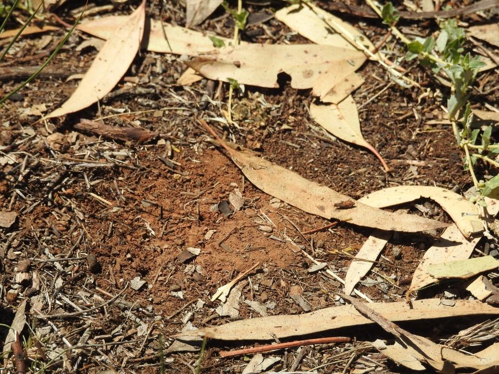 Homalictis bee burrow in Pinkerton Forest 6 Jan 2019