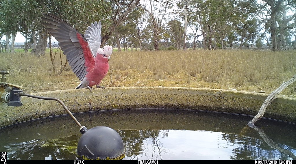 Galah in Pinkerton Forest.JPG