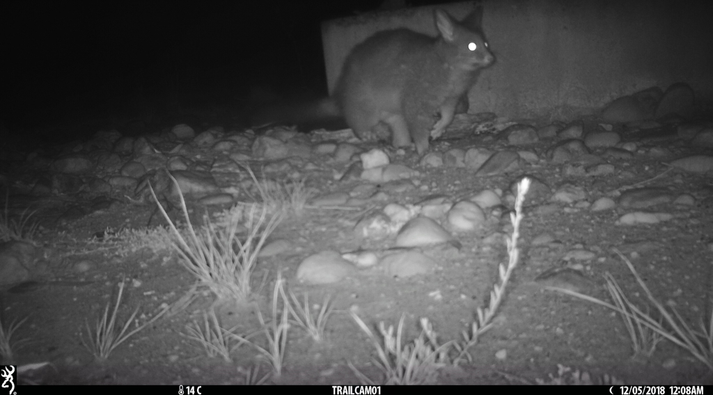 fox chasing possum in pinkerton 2.jpg