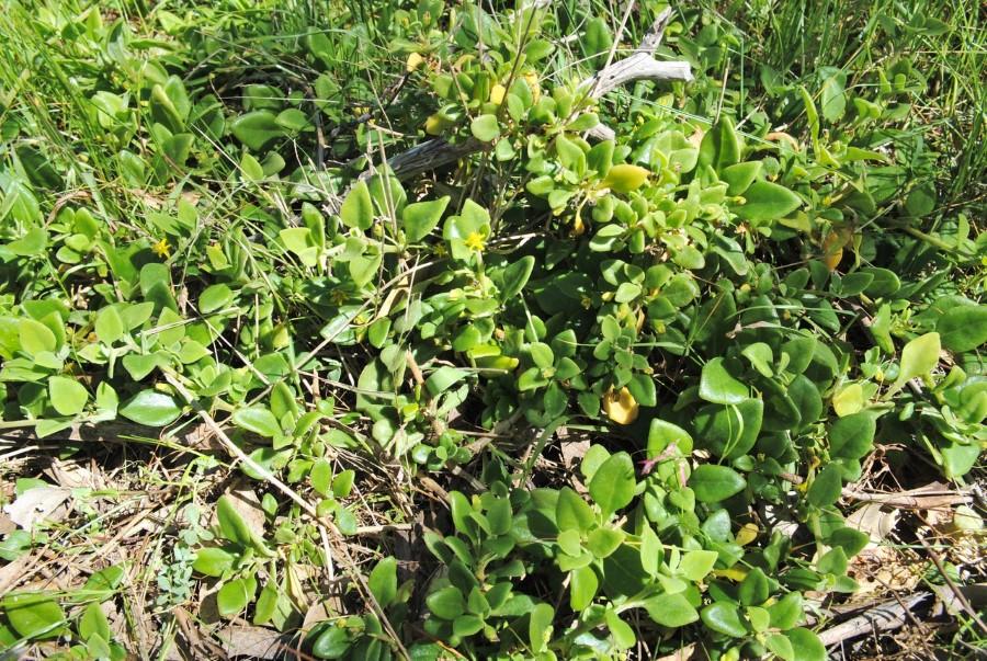 Bower spinach (Tetragonia implexicoma)