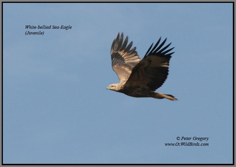 Juvenile Sea-Eagle flying over Pinkerton Forest