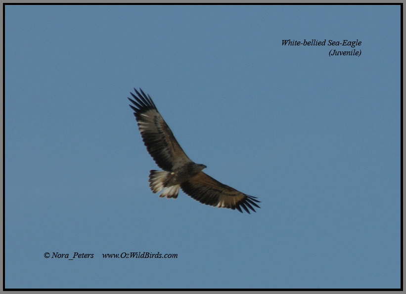 White-bellied Sea-Eagle flying over Pinkerton Forest