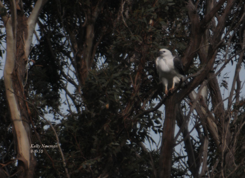 Juvenile and adult Sea-Eagles on nest in Pinkerton Forest