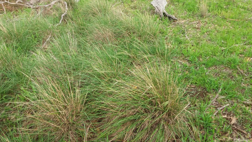 Cane Needlegrass in Pinkerton