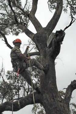 Will Clegg, an arborist at Melbourne Zoo