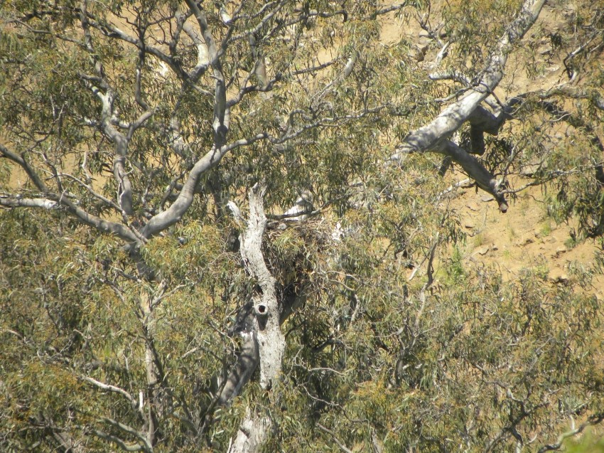 Wedge-tailed Eagle nest at Pinkerton Flat