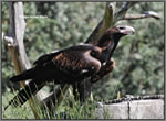 adult Wedge tailed Eagle sm